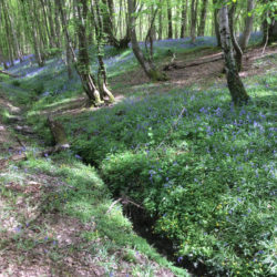 Stream with bluebells