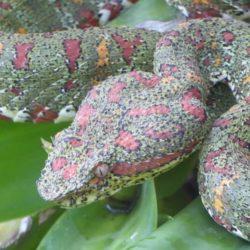 Coral coloured eyelash viper