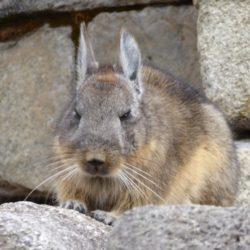 Peruvian Rabbit