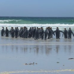 king-penguins-500px